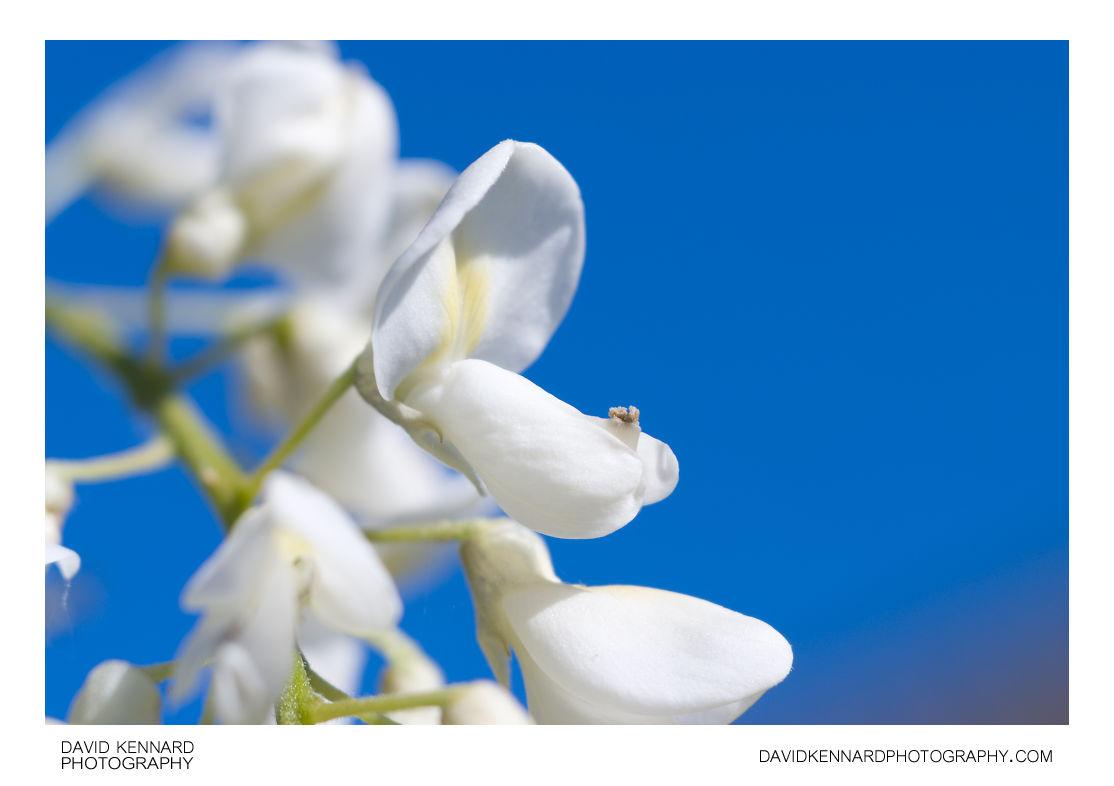 White Wisteria flower