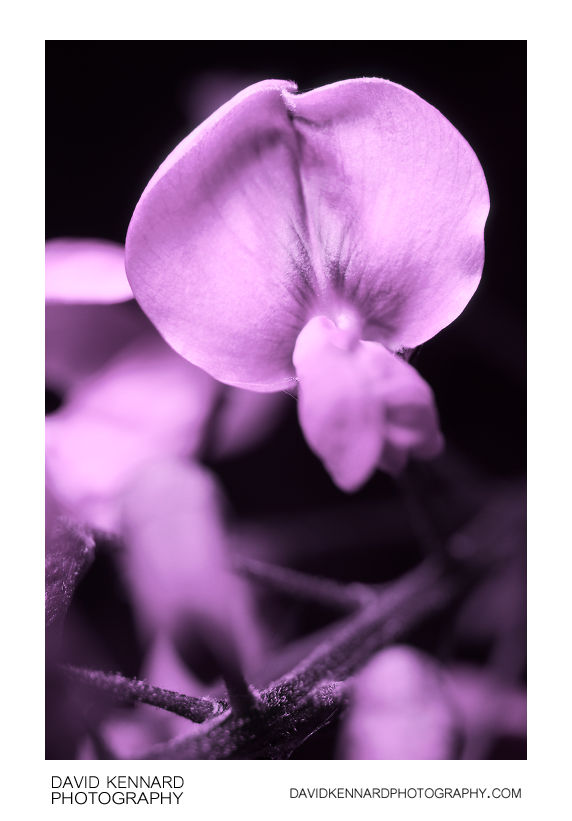 White Wisteria flower [UV]