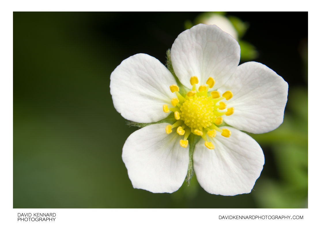 Wild Strawberry (Fragaria vesca) flower