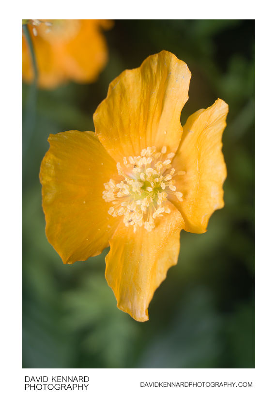Meconopsis cambrica var. aurantiaca (Orange Welsh Poppy) flower