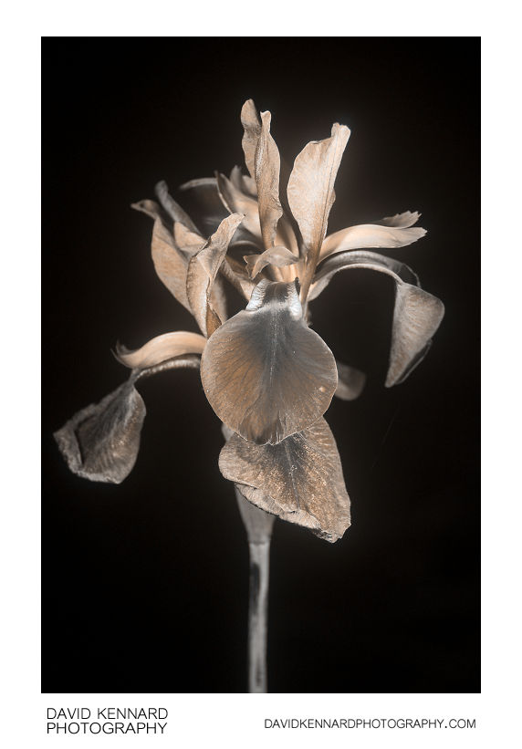 Iris sibirica 'Tropic night' flowers [UV]