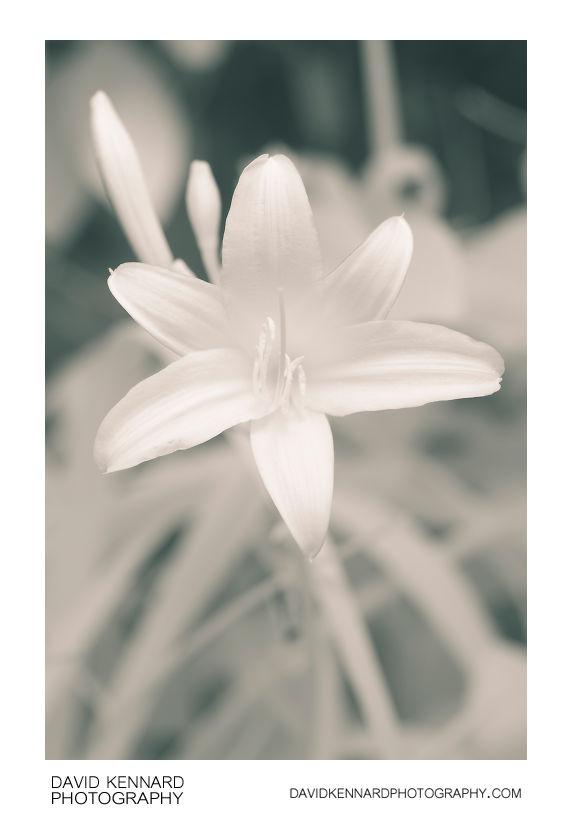 Yellow Day-lily (Hemerocallis lilioasphodelus) flower [IR]