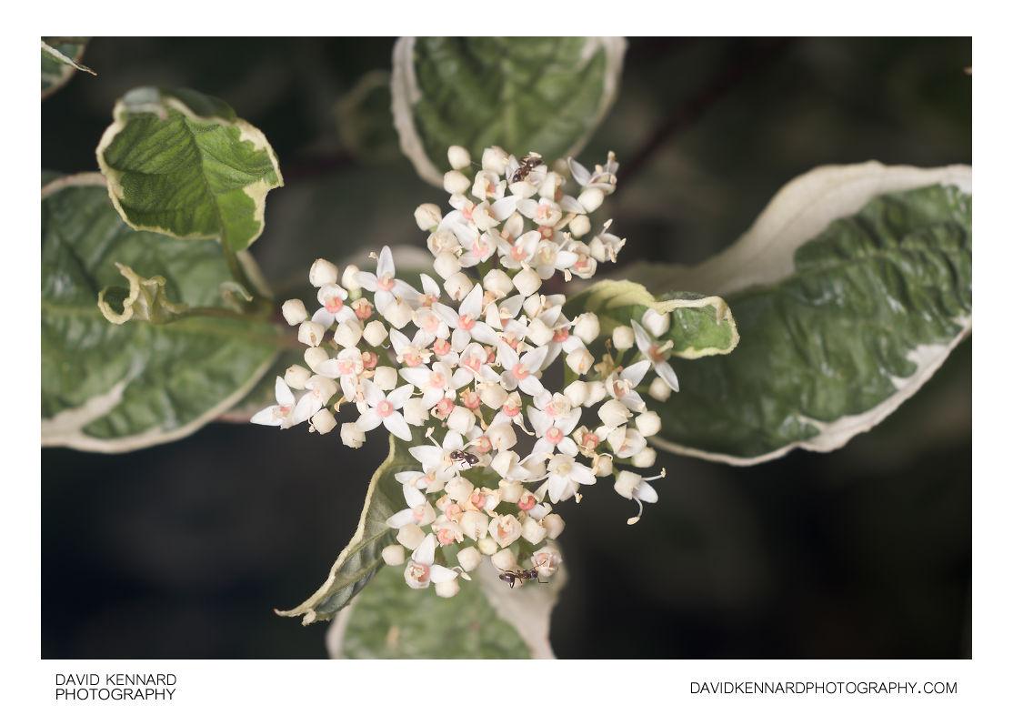 Cornus alba 'Elegantissima' flowers