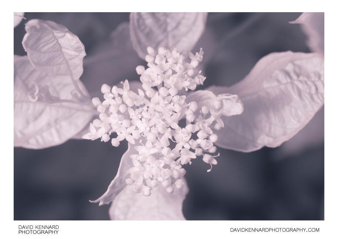 Cornus alba 'Elegantissima' flowers [IR]