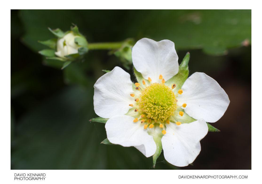 Garden Strawberry (Fragaria × ananassa) flower close-up
