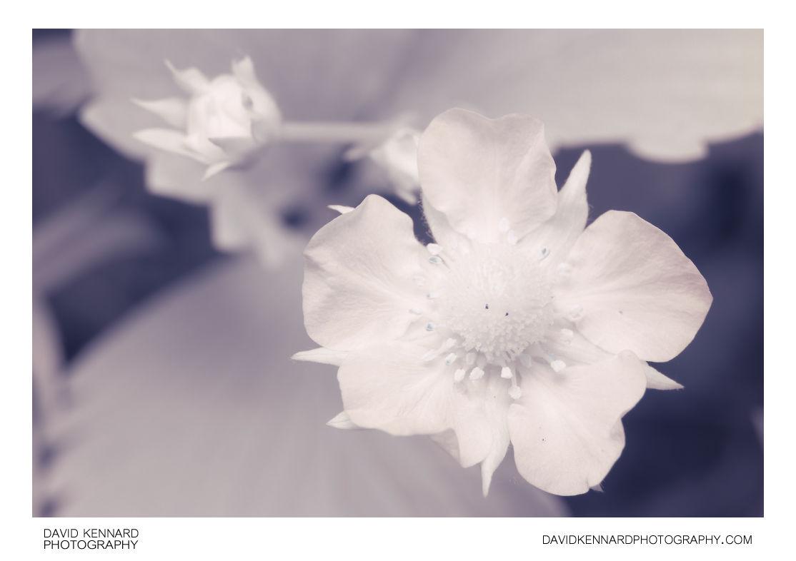 Garden Strawberry (Fragaria × ananassa) flower close-up [IR]