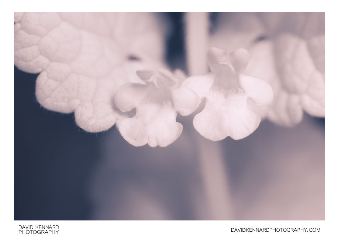 Ground Ivy (Glechoma hederacea) flowers [IR]