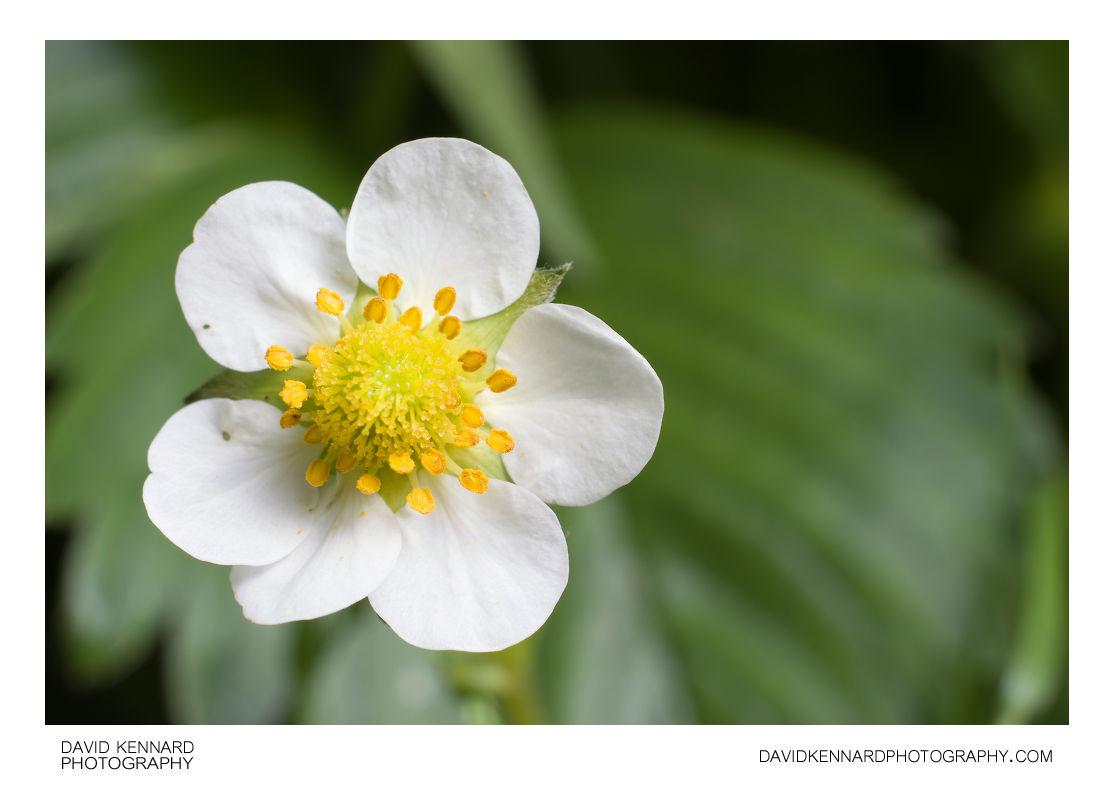 Garden Strawberry (Fragaria × ananassa) flower