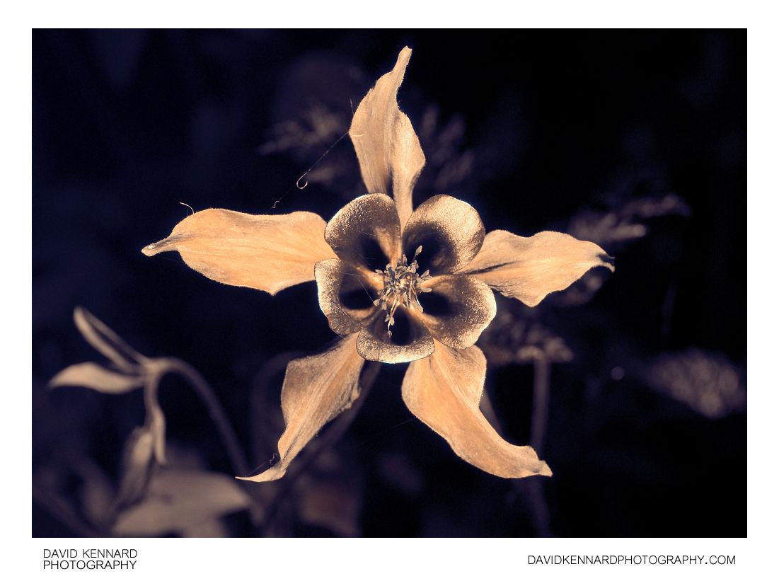 Aquilegia caerulea 'Crimson Star' flower [UV]