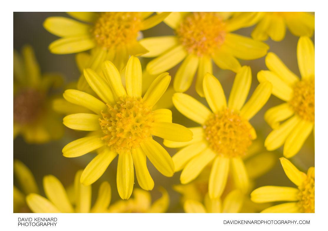 Silver Ragwort (Jacobaea maritima) flowers