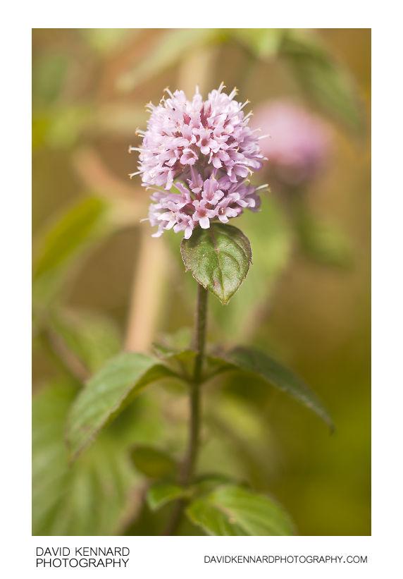 Water Mint (Mentha aquatica) in flower