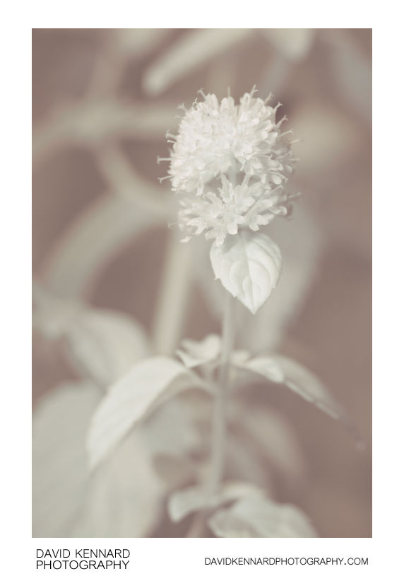 Water Mint (Mentha aquatica) in flower [IR]