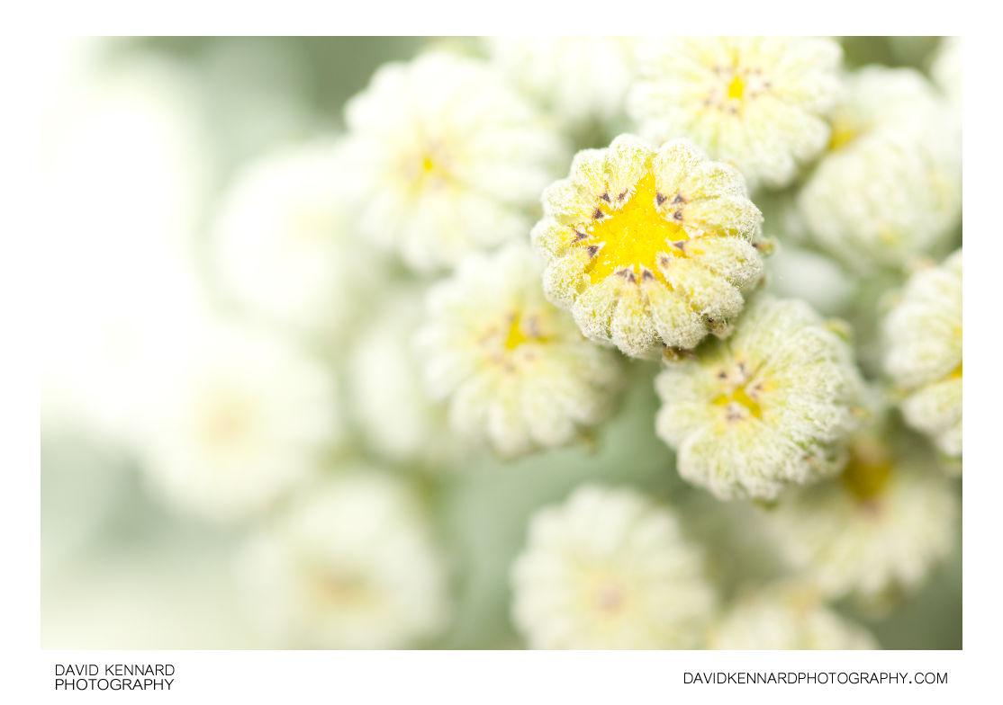 Silver Ragwort (Jacobaea maritima) flower buds