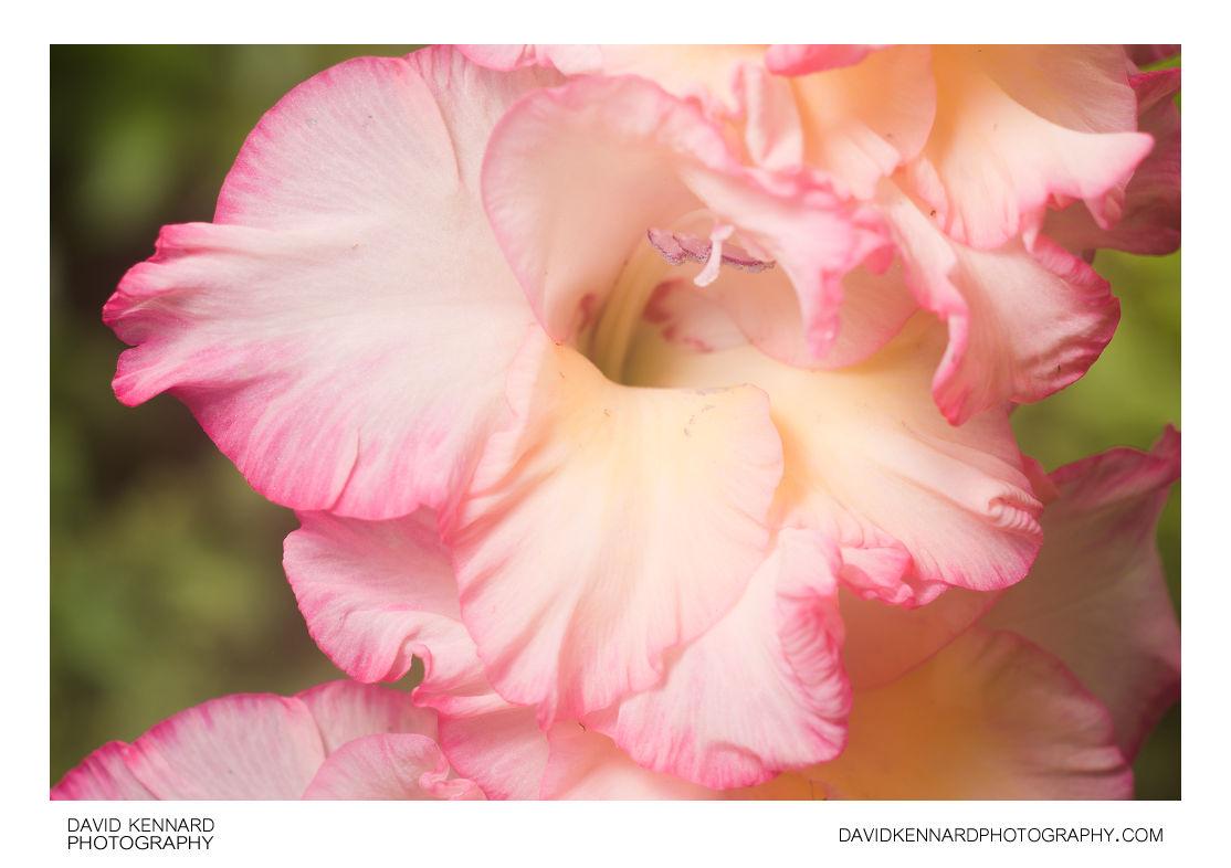 Gladiolus × hortulanus 'Priscilla' flower