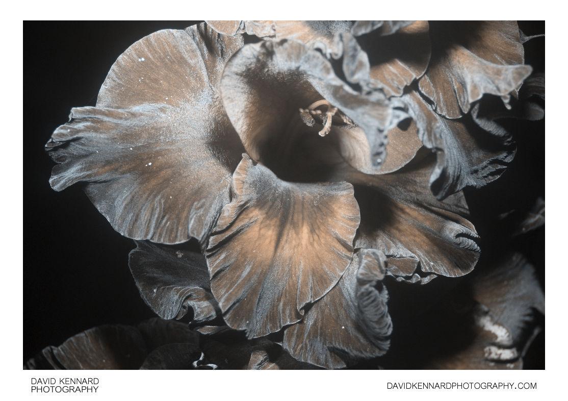 Gladiolus × hortulanus 'Priscilla' flower [UV]