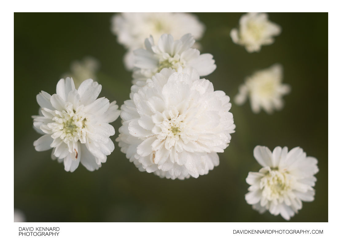 Achillea ptarmica 'The Pearl' flowers