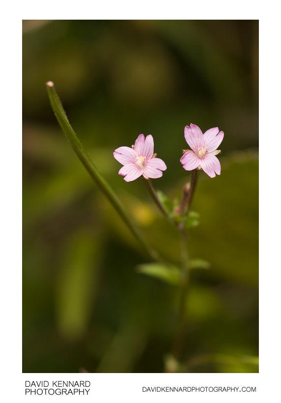 Marsh Willowherb flowers