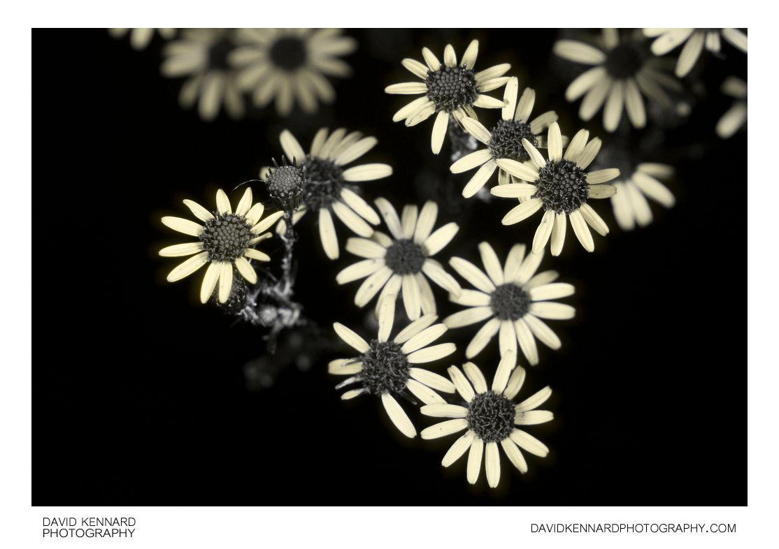 Jacobaea vulgaris (Common Ragwort) flowers [UV]