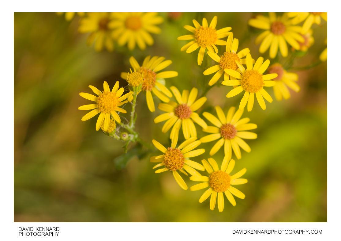 Jacobaea vulgaris (Common Ragwort) flowers