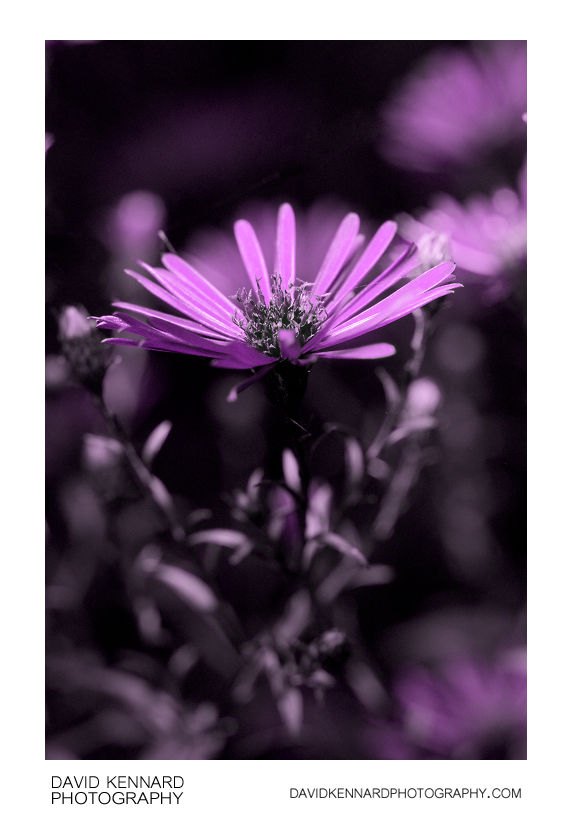 [UV] Michaelmas daisy (Aster sp.) flower