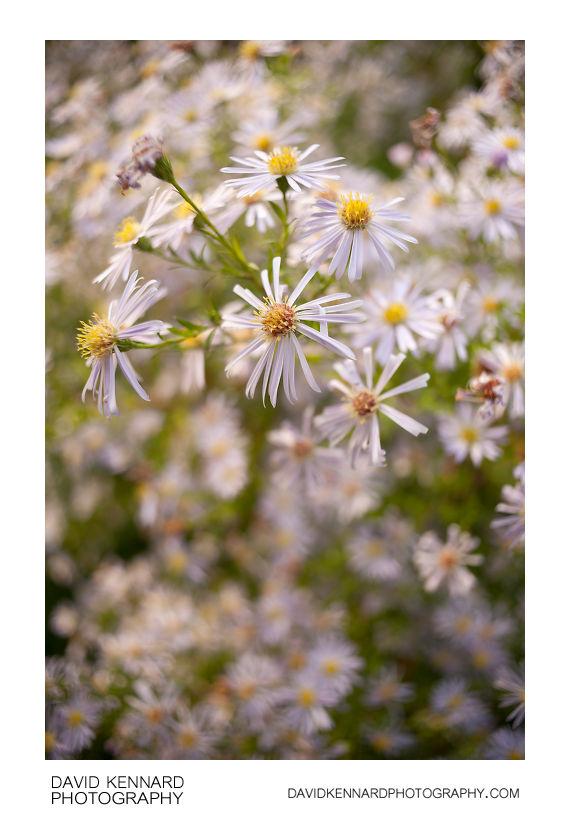Michaelmas daisies (Aster sp.)