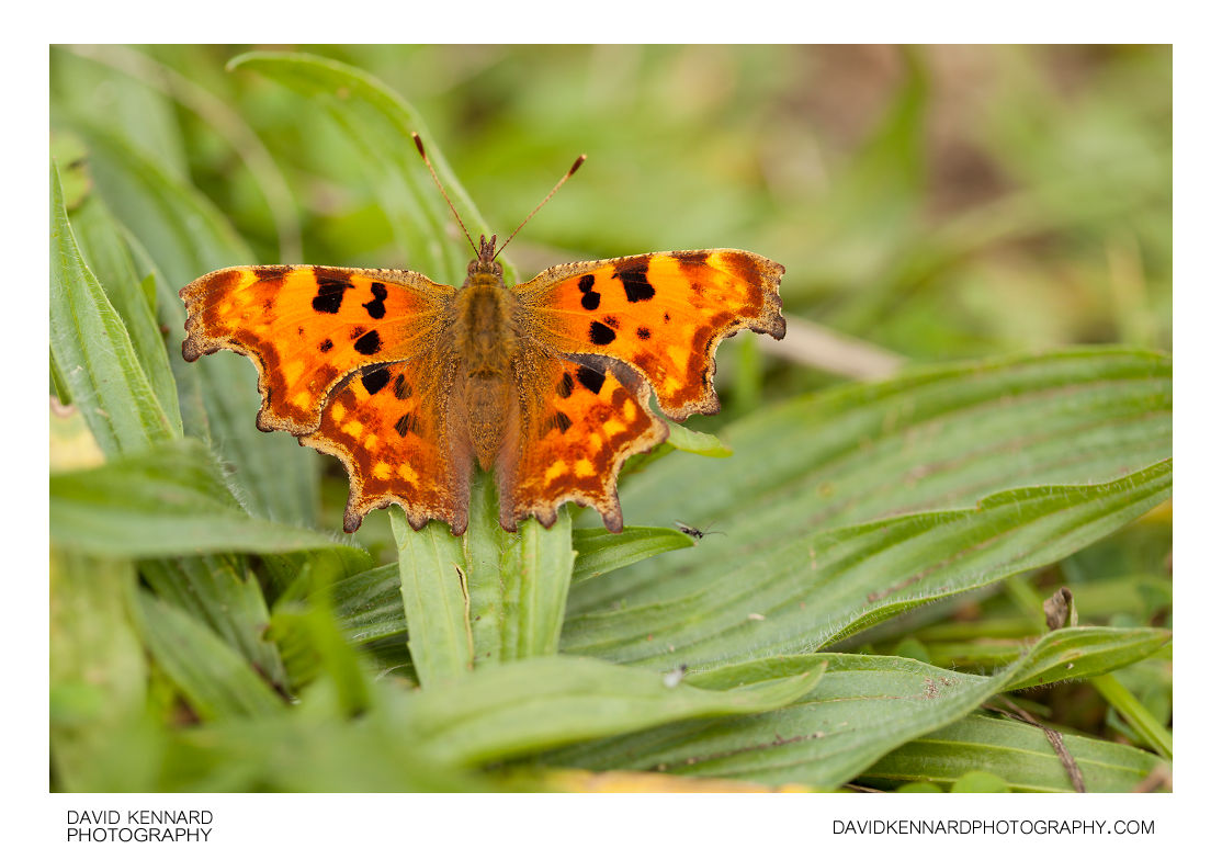 Polygonia c-album (Comma butterfly)