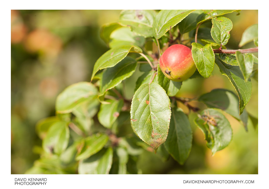 Ripe crab apple (Malus sylvestris)