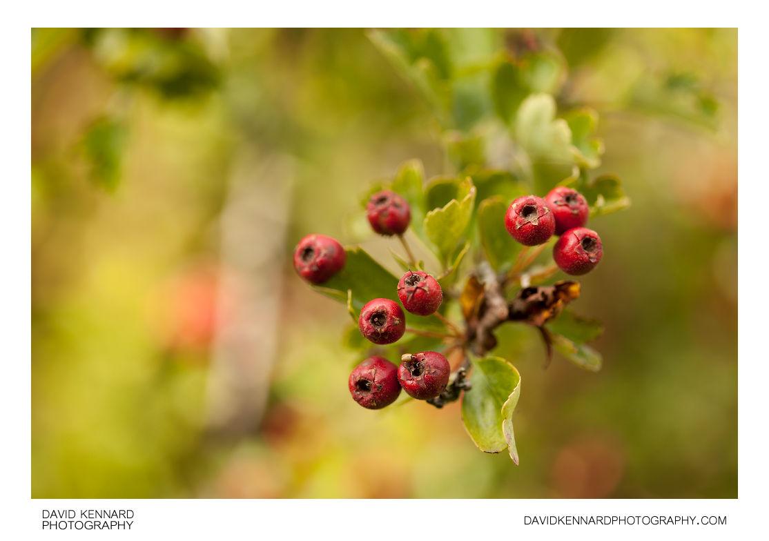 Hawthorn fruit (Crataegus monogyna)