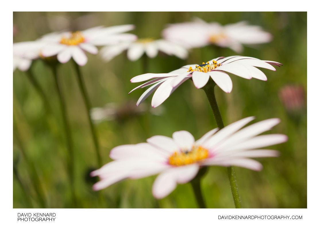 Osteospermum ecklonis flowers