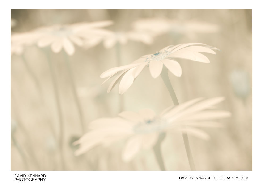 Osteospermum ecklonis flowers [IR]