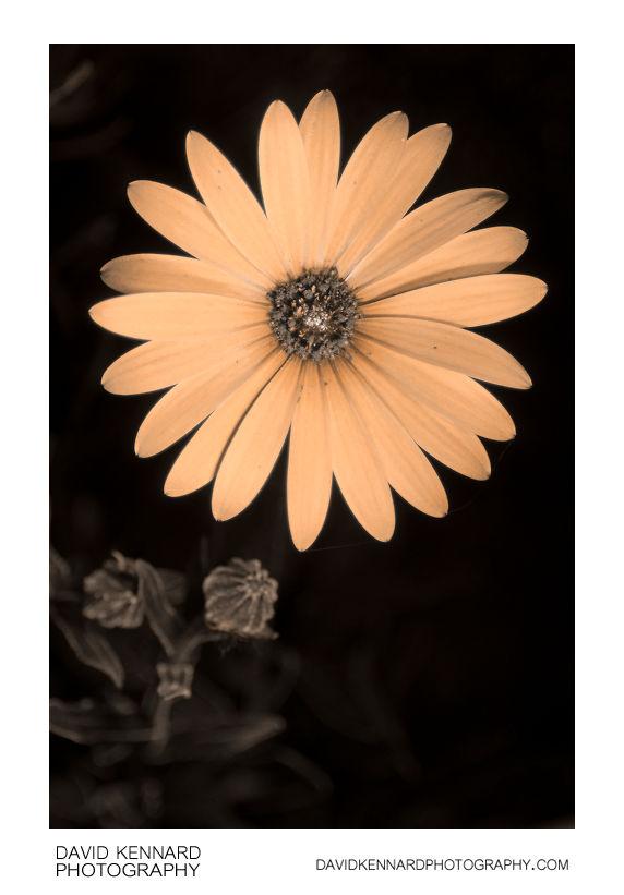 Osteospermum ecklonis flower [UV]