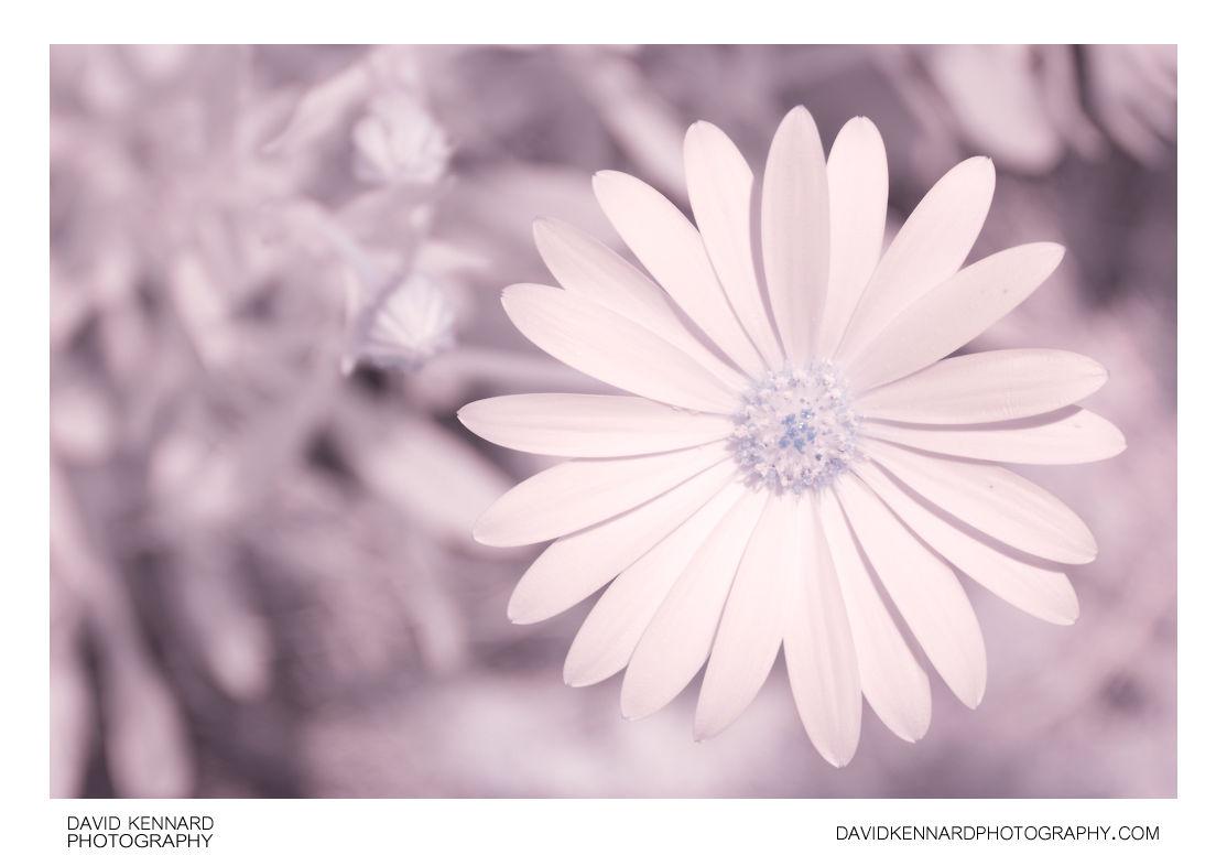 Osteospermum ecklonis flower [IR]
