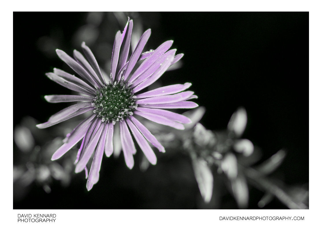 [UV] Aster sp. (Michaelmas daisy) flower