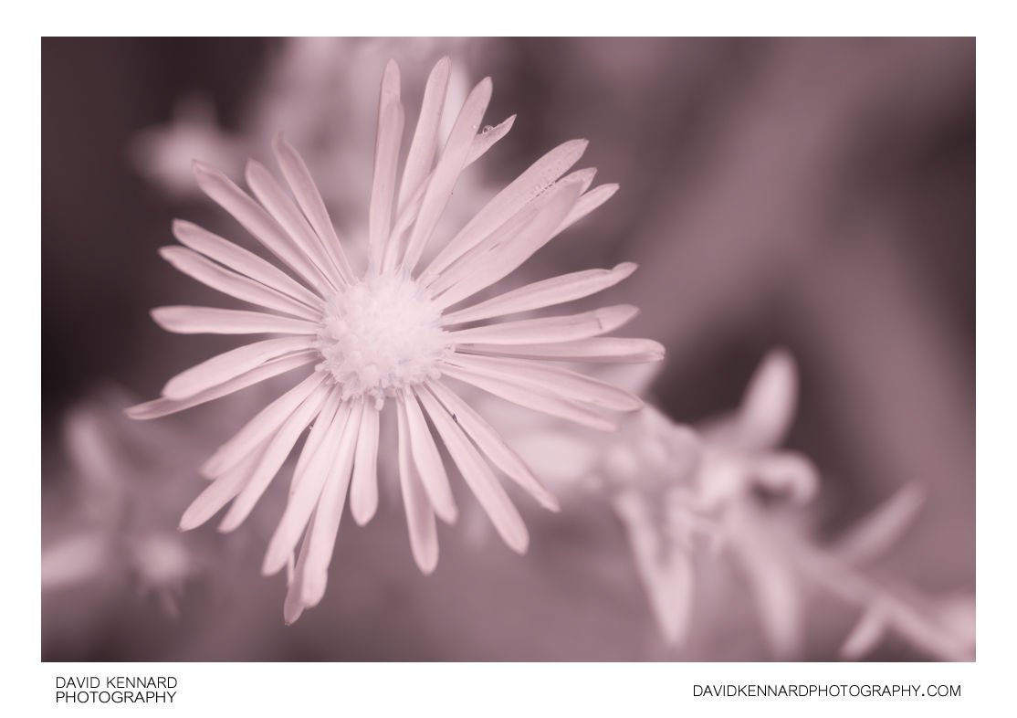 [IR] Aster sp. (Michaelmas daisy) flower