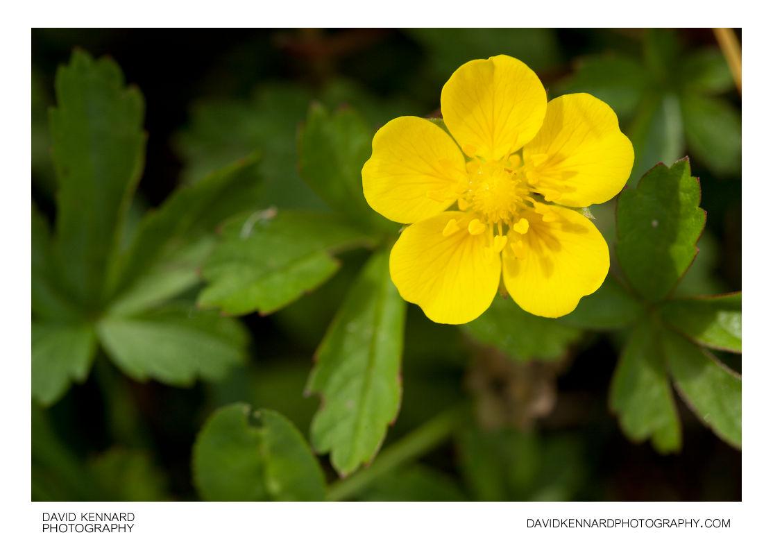 Potentilla reptans (Creeping cinquefoil) flower