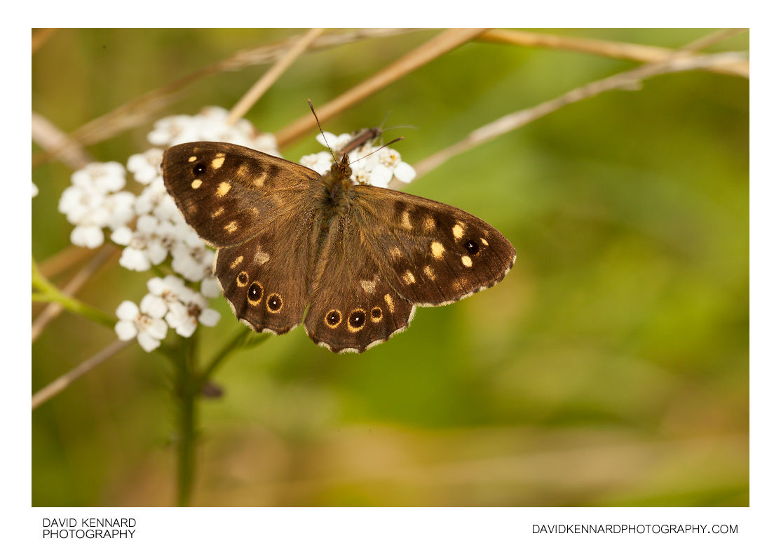 Pararge aegeria tircis (Speckled Wood butterfly)