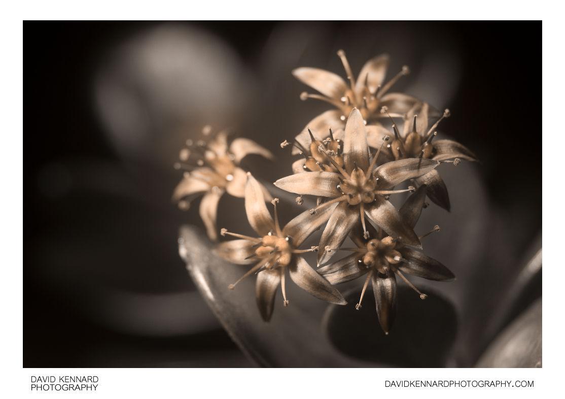 Crassula ovata (Money tree) flowers [UV]