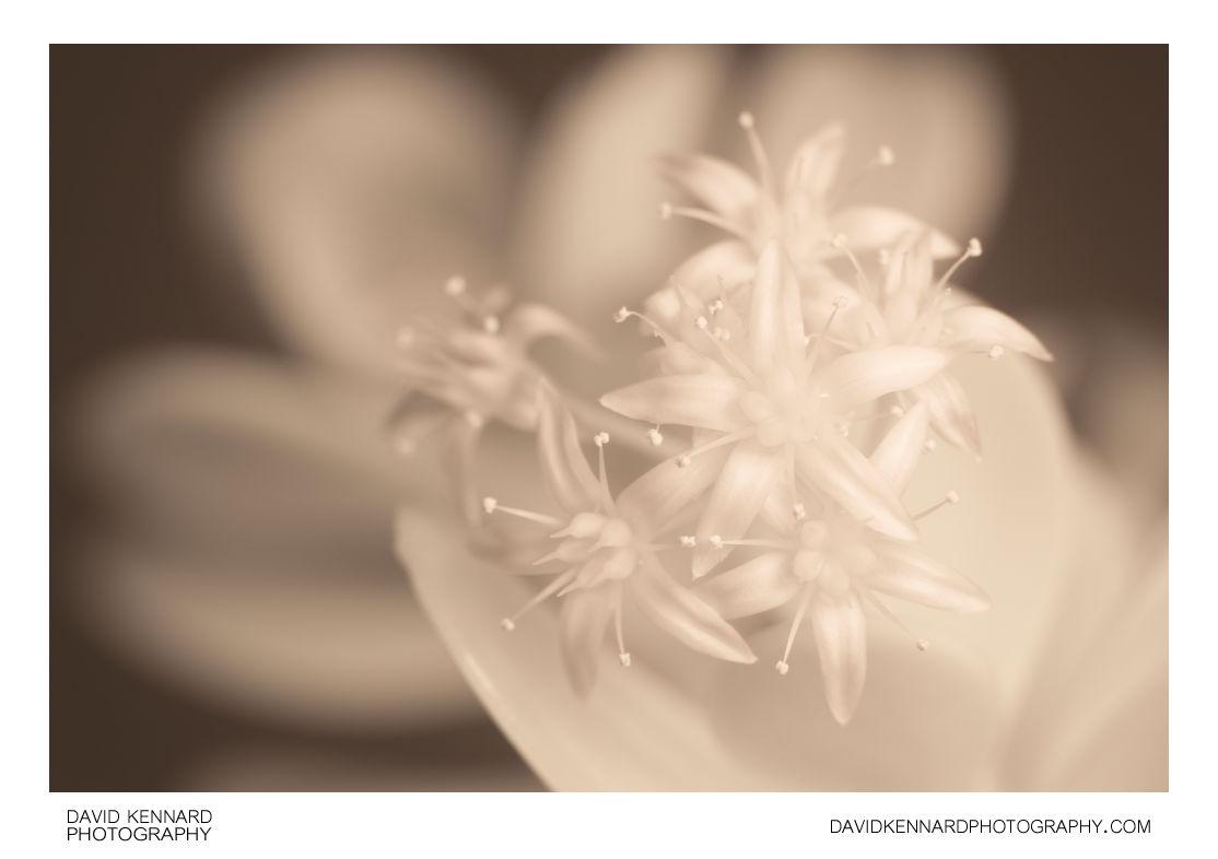 Crassula ovata (Money tree) flowers [IR]
