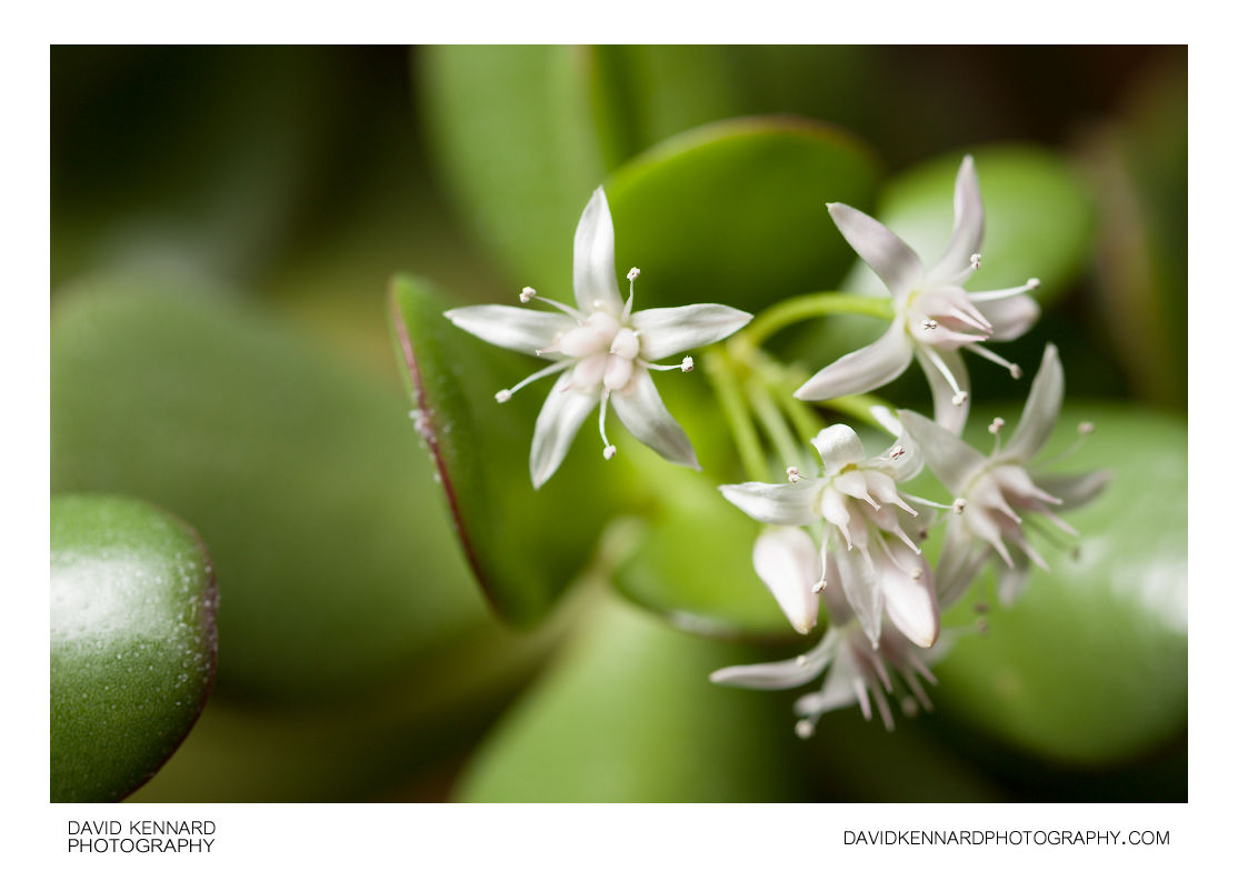Crassula ovata (Jade plant) flowers