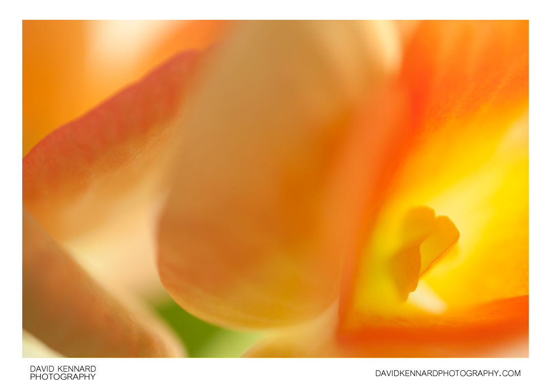Begonia flower abstract