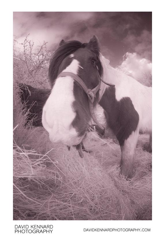 Gypsy-cob Horse eating hay [Fisheye | IR]