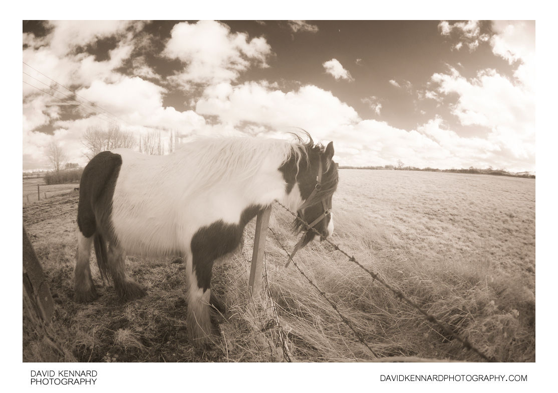 Horse rubbing on barbed wire [IR]