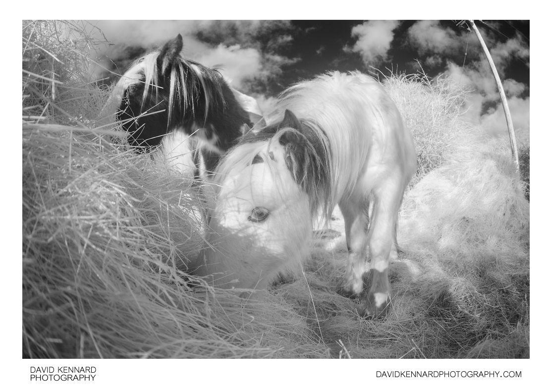 Gypsy-cob horses eating hay [IR | B&W]