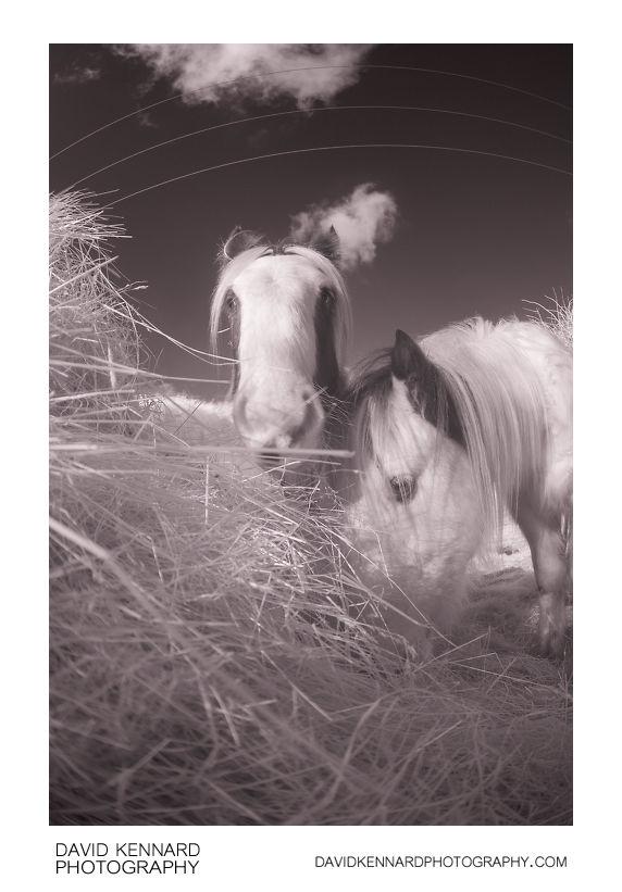 Gypsy-cob horses eating hay [IR]