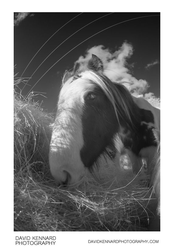 Gypsy-cob horse eating hay [IR | B&W]