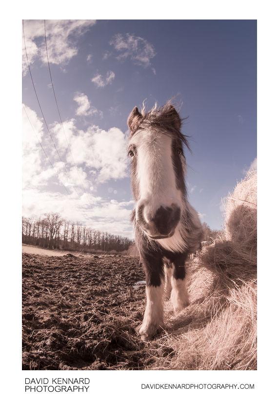 Gypsy-cob horse foal