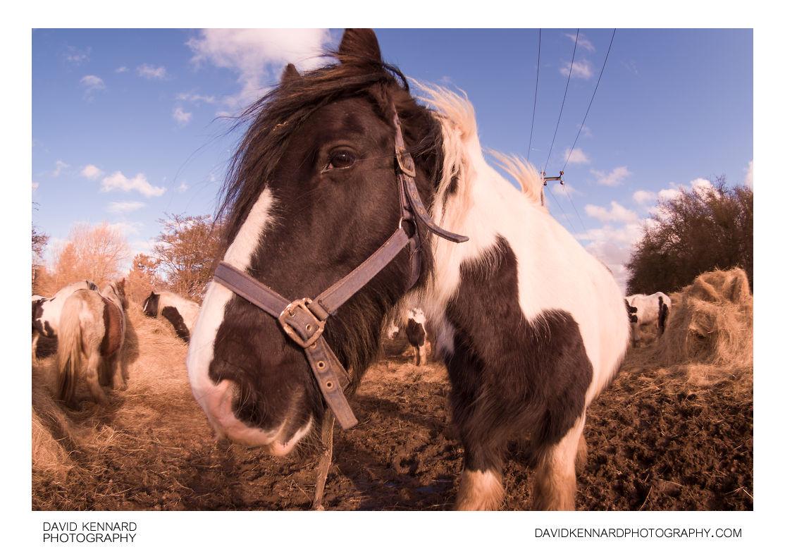 Gypsy-cob Horse with noseband