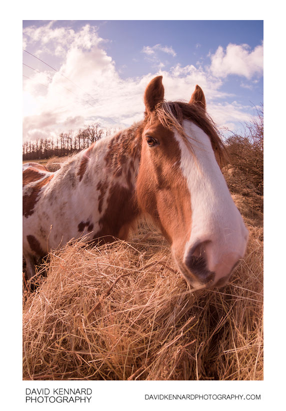 Gypsy-cob horse munching on hay