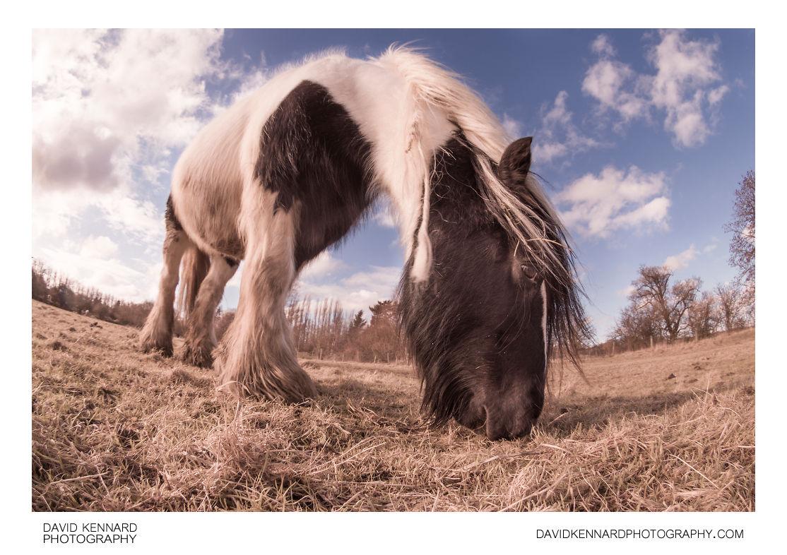 Gypsy-cob horse feeding in field