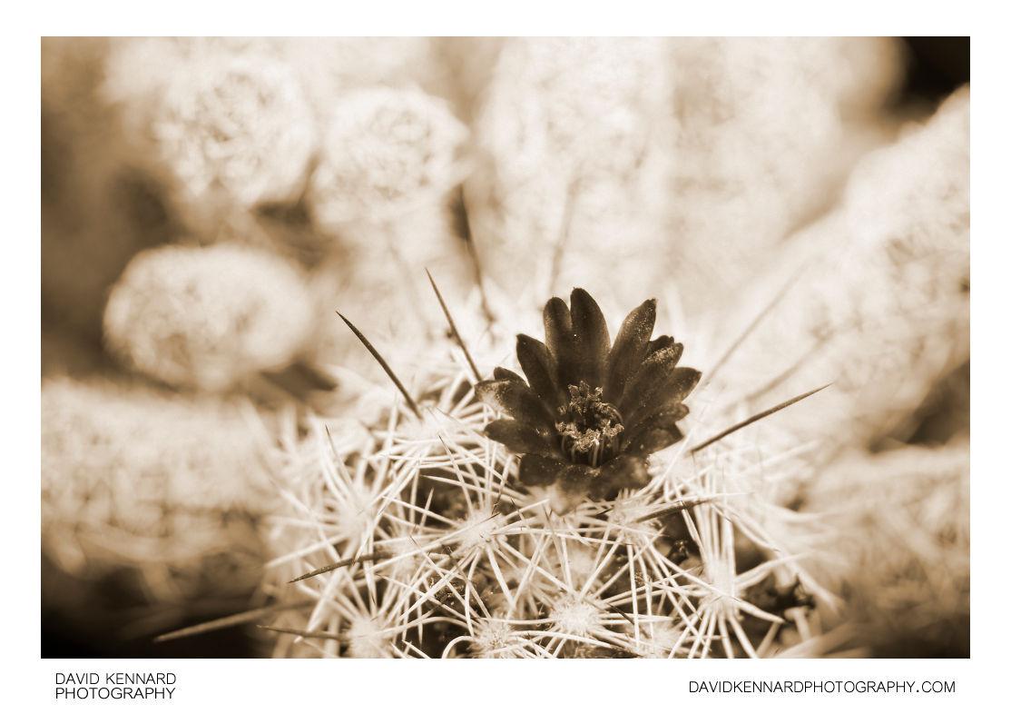 Small cactus flower [UV]